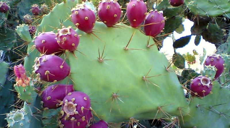 Семена кактус опунция понизят сахар в крови
