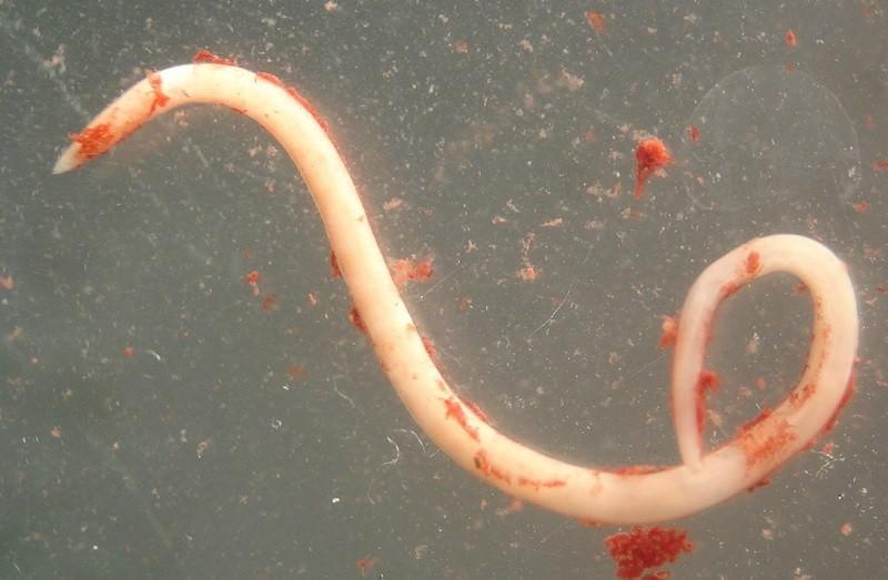 Anisakis или селедочный червь