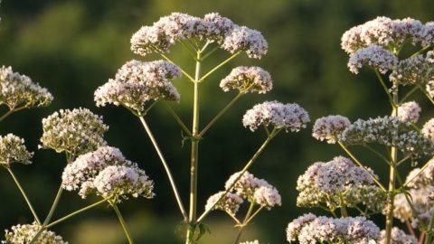 7 трав для уменьшения воздействия стресса