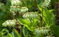 Боровая матка: свойства и применение травы