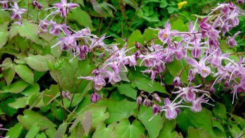 Растение горянка: описание, полезные свойства, противопоказания