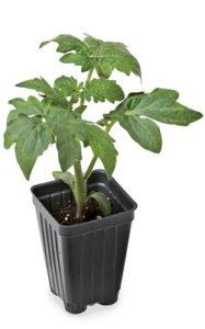 Томат, рассада - выращивание