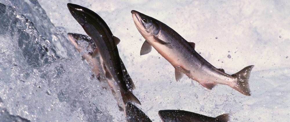 Дикий лосоь содержит много витамина D